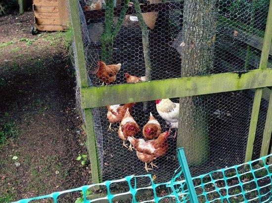 Greystones B&B : Hens