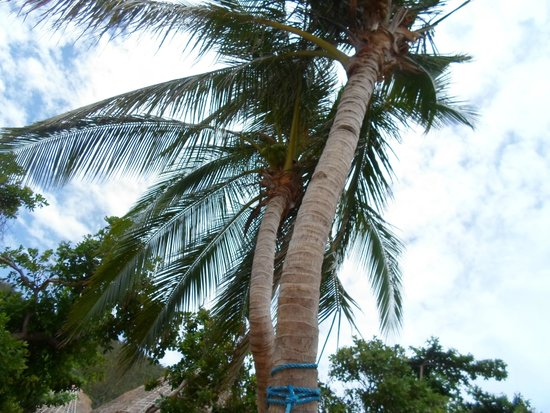Cashew Grove Beach Resort: Their beautiful coconut tree