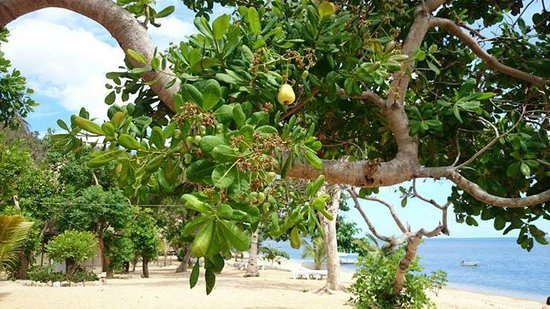 Cashew Grove Beach Resort : The Cashew fruit (with it's seed protruding outside)