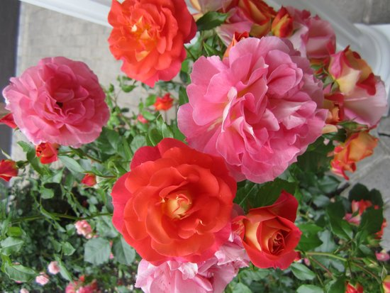 Abacot Hall Bed & Breakfast: Gorgeous roses
