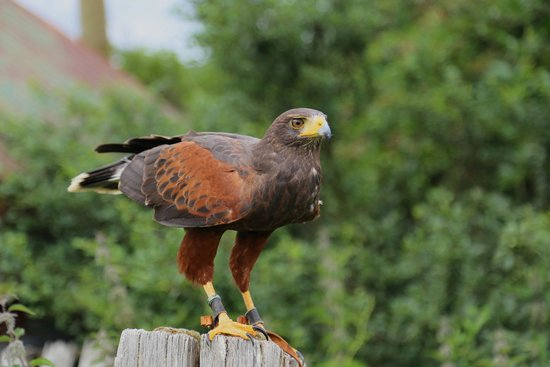 Falconry Experience Wales: Harris hawk
