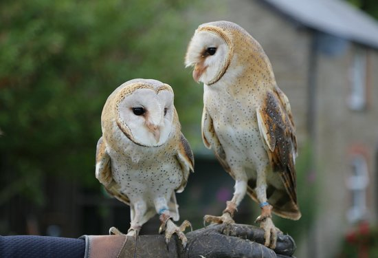 Falconry Experience Wales: Barn owls. Brother and sister