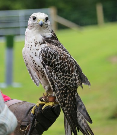 Falconry Experience Wales: Falcon(if i remember correctly