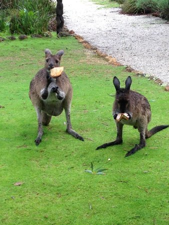 Llewellin's Guest House: Mummy and Baby Kangaroos