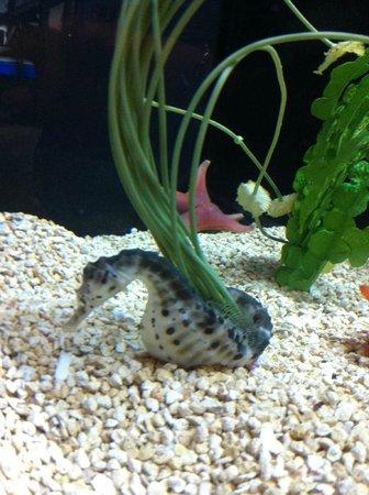 Great Lakes Aquarium : Seahorse
