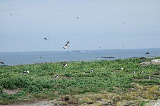 Farne Islands: Taking flight