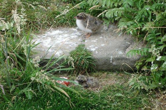 Farne Islands: Fluffy