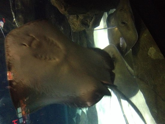 Ripley's Aquarium of the Smokies: Sting ray bay