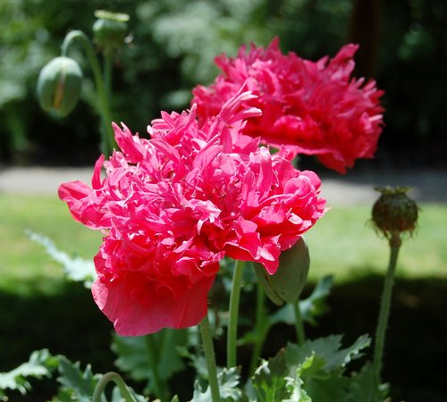 Orr Hot Springs Resort: Summer's poppies