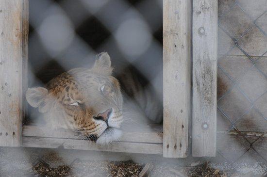 Serenity Springs Wildlife Center: Liger sleeping