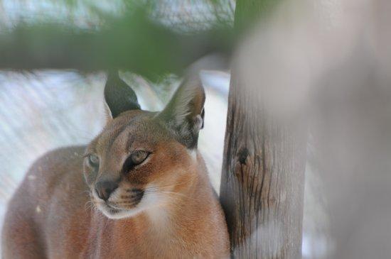 Serenity Springs Wildlife Center: Coutimundi