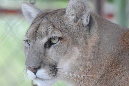 Serenity Springs Wildlife Center: Clyde the mountain lion