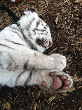 Serenity Springs Wildlife Center: sleeping white tiger cub.  My grandson, put him to sleep with his petting and playing with him.