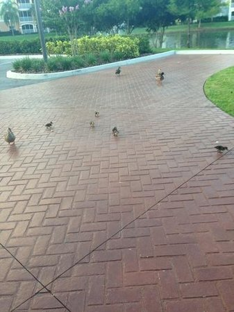 Sheraton Vistana Villages - International Drive: resident family of ducks
