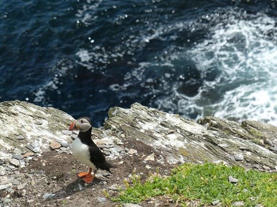 Casey's Skellig Islands Tours: Puffin