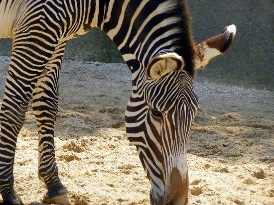 Parc Zoologique de Paris: zèbre