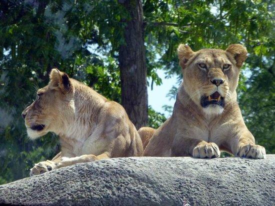 Parc Zoologique de Paris: lionnes