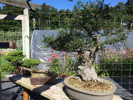 Smith Gilbert Gardens : Bonsai trees