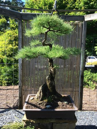 Smith Gilbert Gardens : 300-year-old bonsai tree