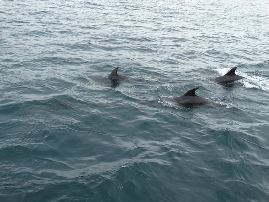Fullers GreatSights Bay of Islands Day Tours: Dolphin view - As close as possible