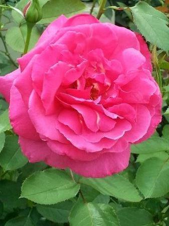 Trauttmansdorff Castle Gardens: Trauttmansdorff: A Giant Rose