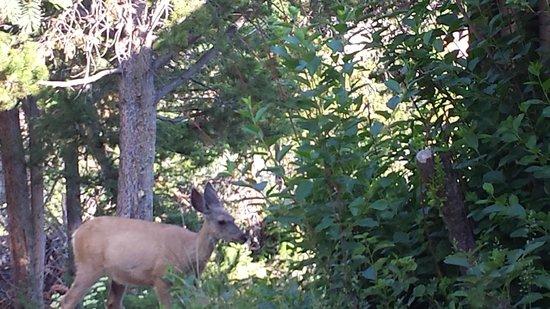 Roosevelt Lodge Cabins: Elk near Roosevelt