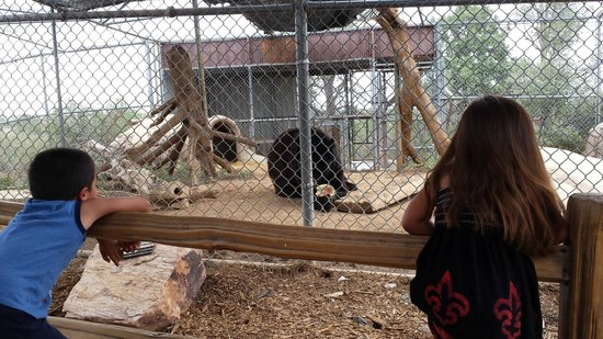 Heritage Park Zoo : Shash the bear at feeding time
