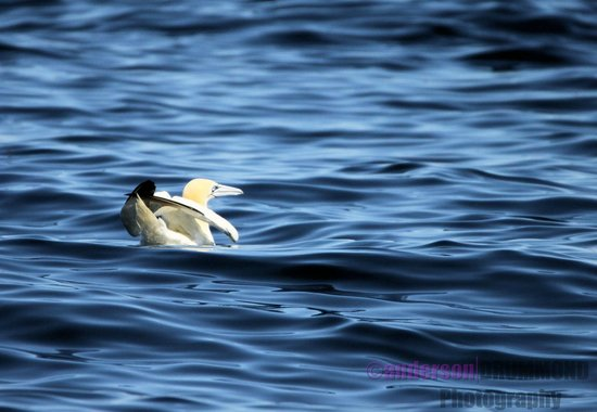 Ardnamurchan Charters: Gannet