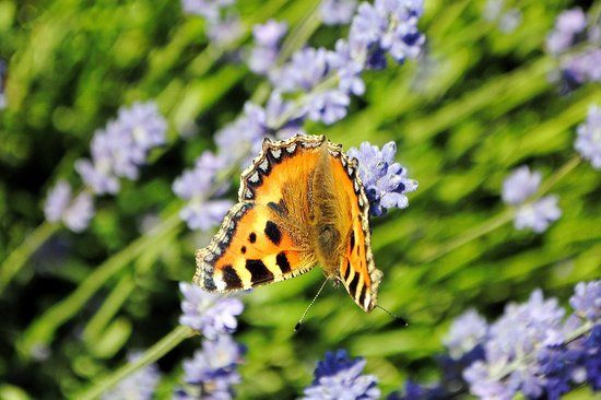 Cotswold Lavender : butterfly