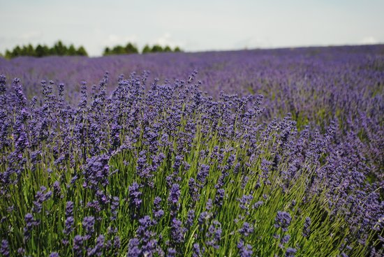 Cotswold Lavender : lavender