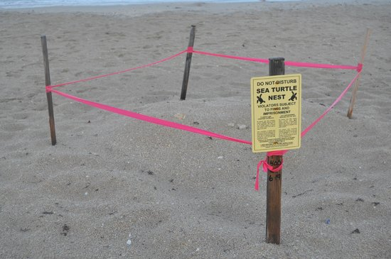 Lago Mar Beach Resort & Club : Marked out Turtle Nest on the Beach