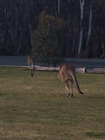 Moama on Murray Resort: Kangaroos happy to wander around