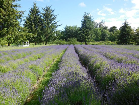 Red Lion Inn & Suites- Sequim at Olympic National Park : Lavender field