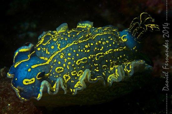 Easydivers Dive Centre: Nudibranquio Tricolore