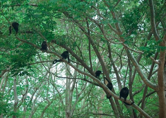 Four Seasons Resort Costa Rica at Peninsula Papagayo: Howler Monkeys on Four Season Property