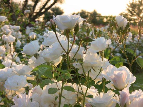 Ecolodge Quaryati : roses du jardin