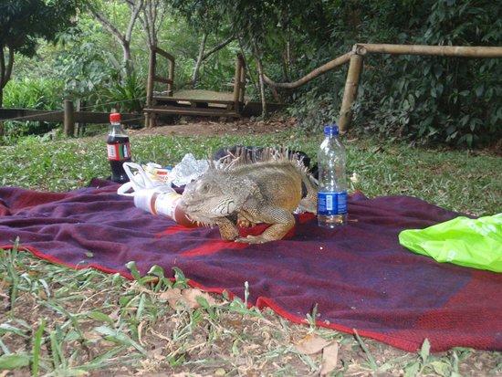 Ecoparque de las Garzas: Picnic with an iguana.