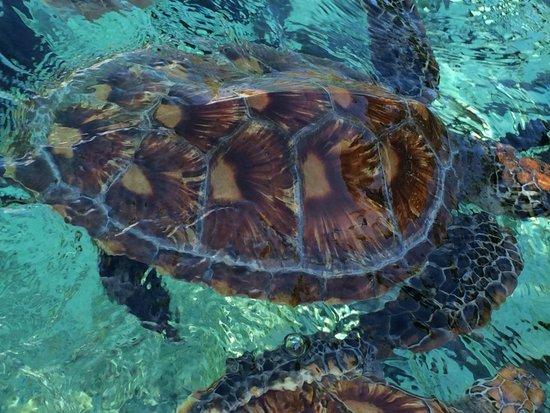 Sofitel Bora Bora Marara Beach Resort: Tortugas