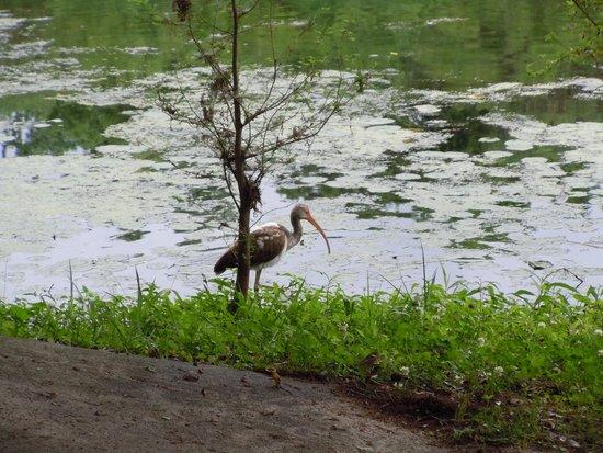 Wakulla Springs Lodge : Wildlife