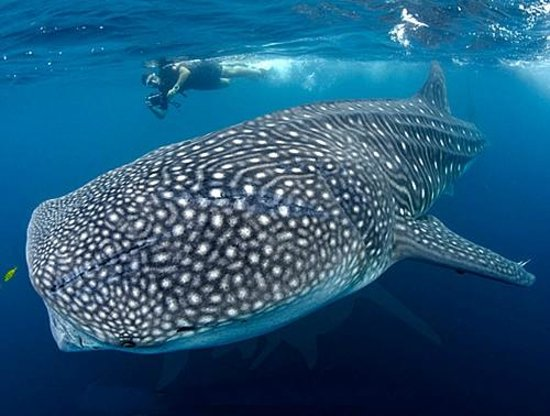 Mulege, Meksika: Whale Shark Diving!