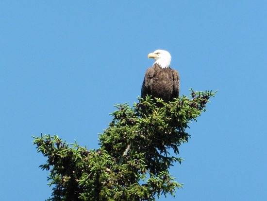 North River Kayak Day Tours: Bald Eagle bending the treetop.