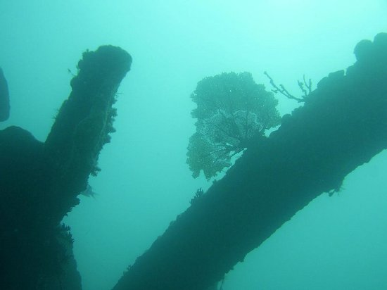 Benwood wreck: Fan coral growing