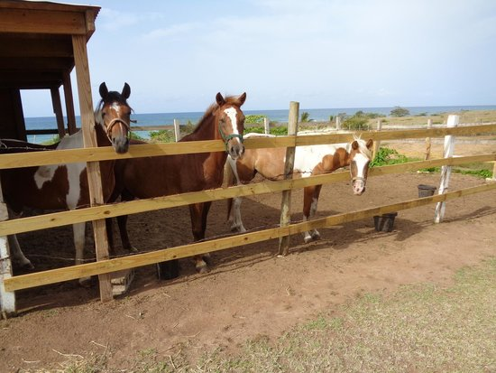 Hector's by the Sea : Mary and Hector's 3 horses looking for a handout, preferably mangos