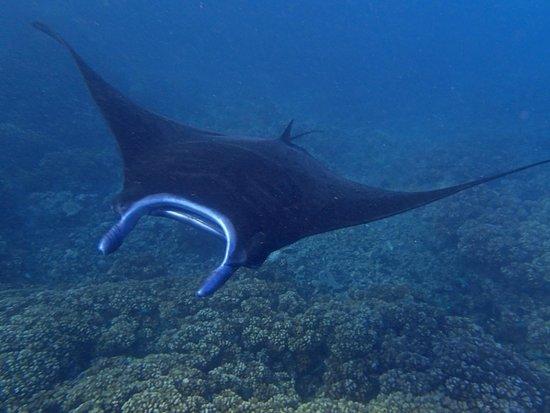 Mantaray Island Resort: Manta Ray!