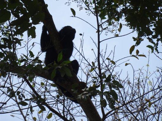 Chan-Kah Resort Village: Vue des singes