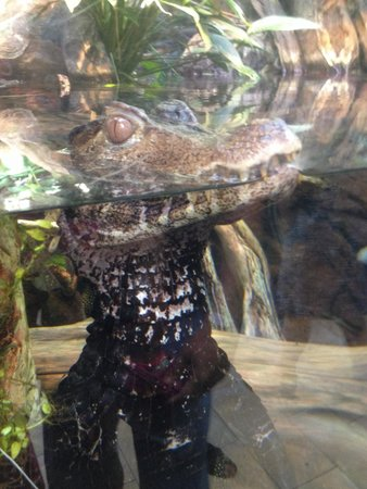 Shedd Aquarium : Baby alligator...