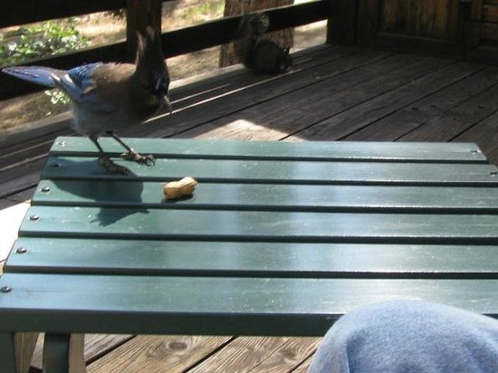 Quiet Creek Inn : Western Scrub Jay eating peanuts