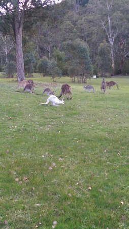 Yering Gorge Cottages: Kangaroo family with their little Albino baby