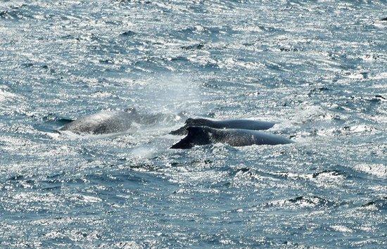 Hyannis Whale Watcher Cruises: Humpbacks