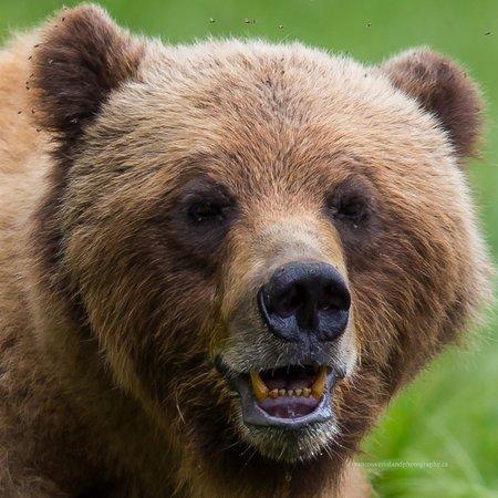 Khutzeymateen Grizzly Bear Sanctuary: Close up with Mama Bear